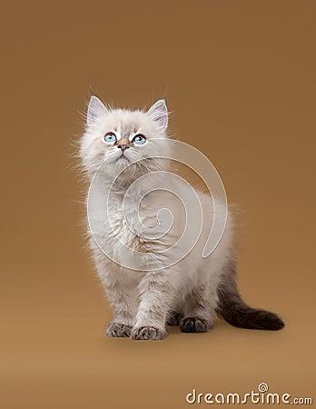 Small siberian kitten on light brown