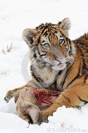 Small Siberian tiger