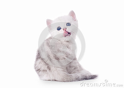Small silver british kitten