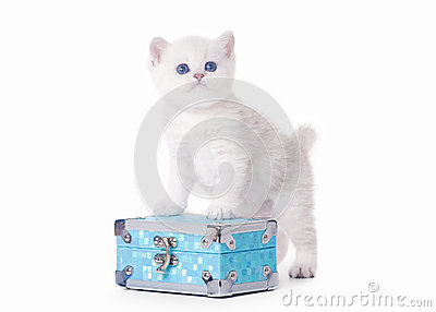 Small silver british kitten on blue chest