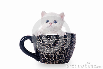 Small silver british kitten in cup