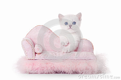Small silver british kitten on pink divan