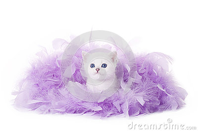 Small silver british kitten in pink plume
