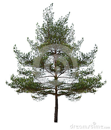 Small single pine isolated on white