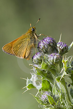 Small Skipper ( Thymelicus sylvestris )