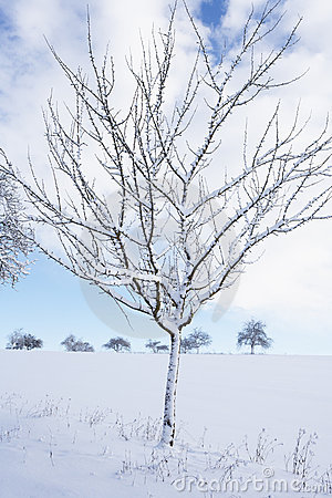 Small snow covered apple tree