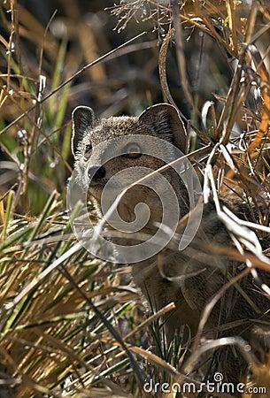 Small-Spotted Genet - Botswana