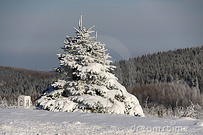 Small spruce covered with  snow