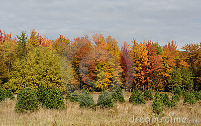 Small spruces in front of autumn trees