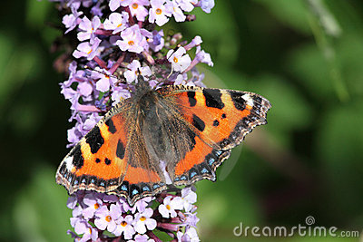 Small tortoise shell butterfly.