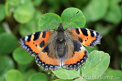 Small Tortoiseshell Butterfly  - Aglais Urticae