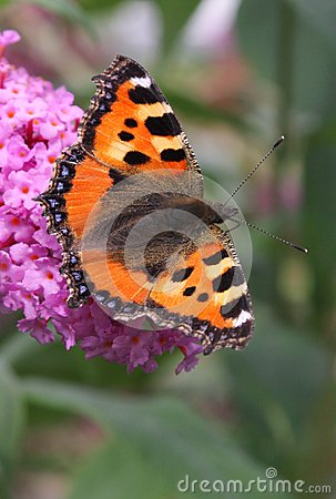 Small Tortoiseshell butterfly at a pink flower, Netherlands