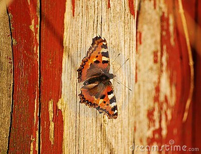 Small Tortoiseshell butterfly on a wooden wall