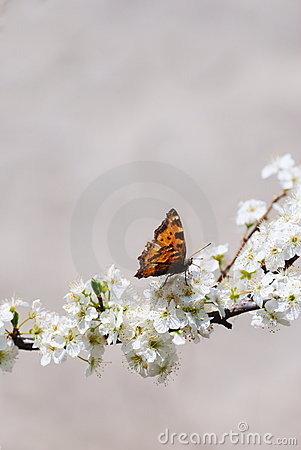 Small tortoiseshell on prunus flowers