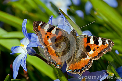 Small Tortoiseshell and Siehe s Glory-of-the-Snow