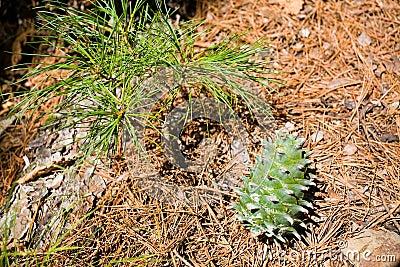 Small tree and Korean pine cone.