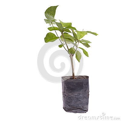 Small tree in planting bag