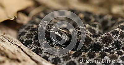 Dusky Pygmy Rattlesnake on log stock video footage