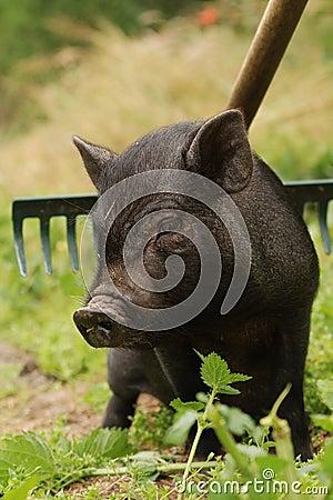 Small Vietnam pig