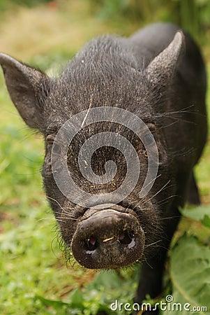 Small Vietnam pig 2