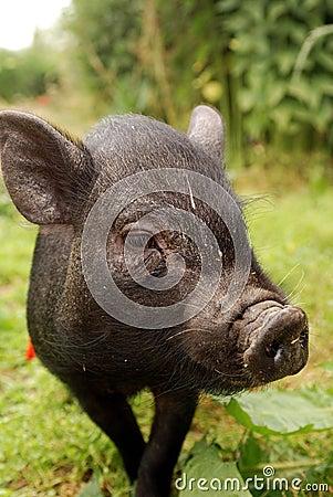 Small Vietnam pig 3