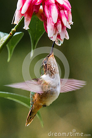 Free Small Volcano Hummingbird Stock Photo - 61100310