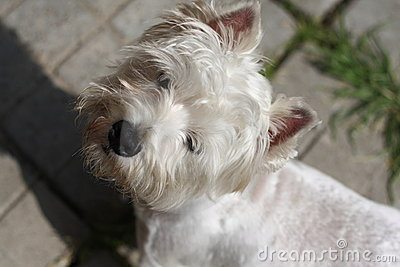 Small westie terrier puppy