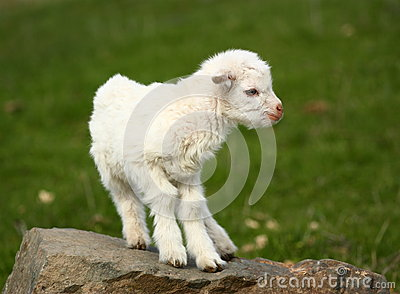 Baby goat on a rock