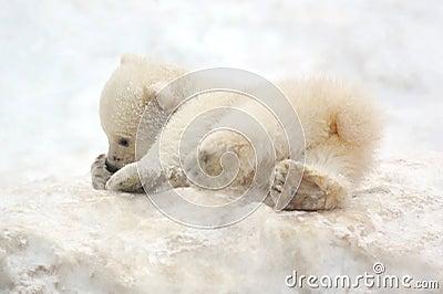 Small white bear cub