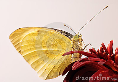 Small White butterfly close-up