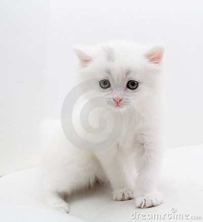 Small white cat