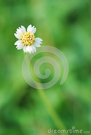 A small white daisy flower with yellow centre
