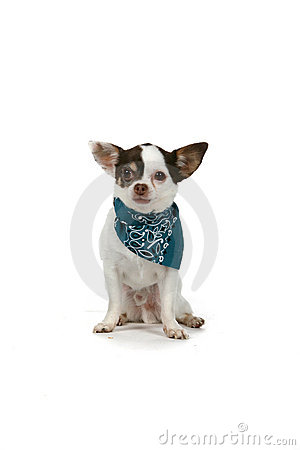 Small white dog with a blue bandana