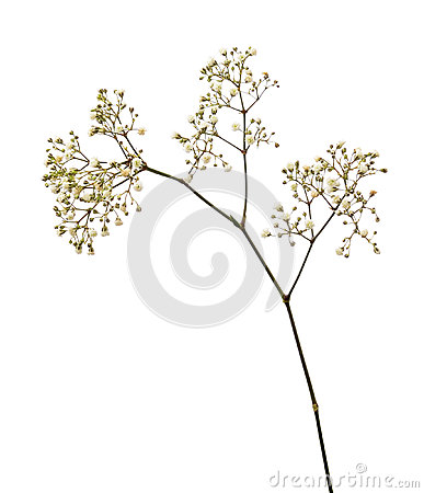 Free Small White Gypsophila Flowers Stock Photography - 88923852