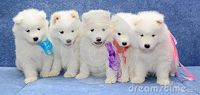 small white huskies