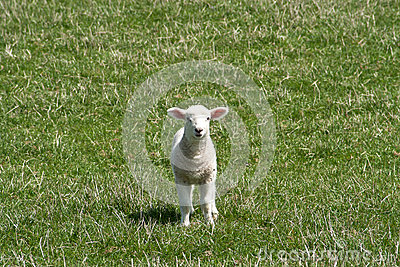 Small white lamb runing towards the camera