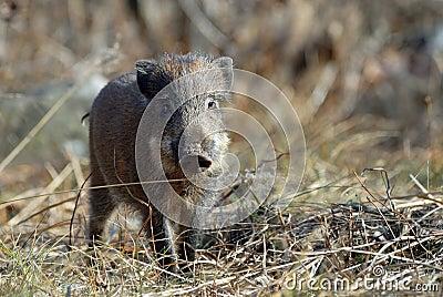 A small wild boar