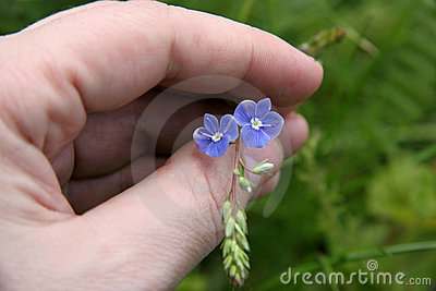 Small wild flowers in hand