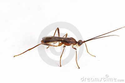 Small Winged Ant