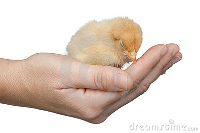 Small yellow chicken asleep on a hand