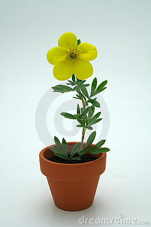 Free Small Yellow Flower Royalty Free Stock Image - 1280476
