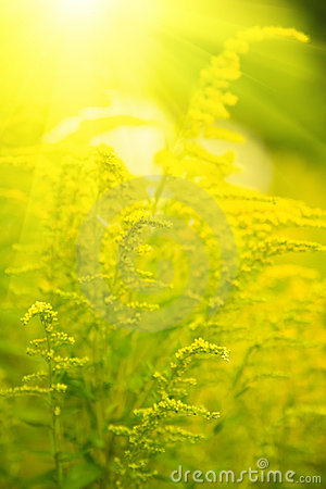 Free Small Yellow Flower With Sun Rays Stock Photos - 6161263