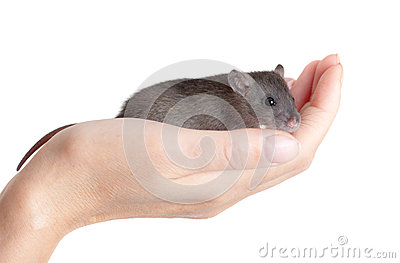 Small young rat on a palm