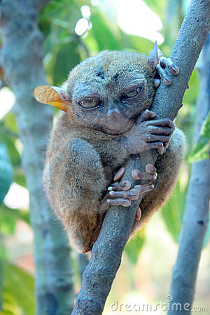 Smallest monkey. Tarsier