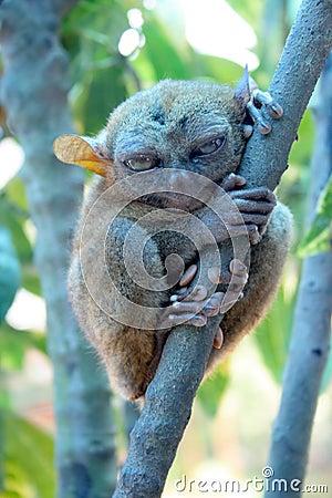 Smallest monkey. Tarsier