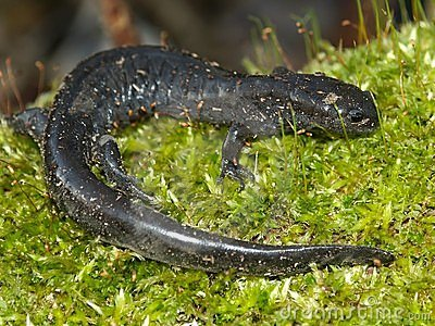 Smallmouth Salamander (Ambystoma texanum)