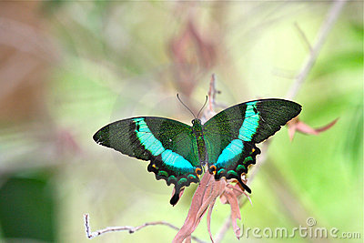 Smaragdgroene Vlinder Swallowtail
