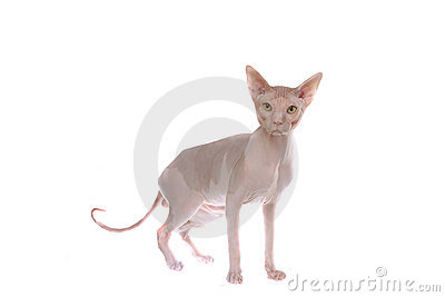 Smart (bald-headed cat)