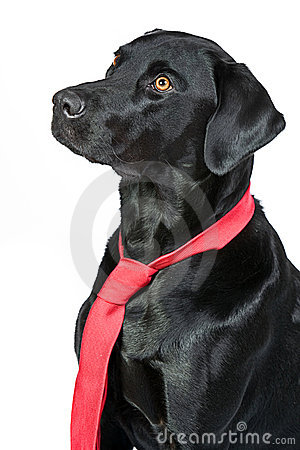 Smart Black Labrador in Red Tie