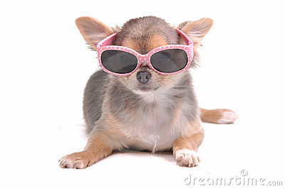 Smart Chihuahua Puppy Wearing Sun Glasses